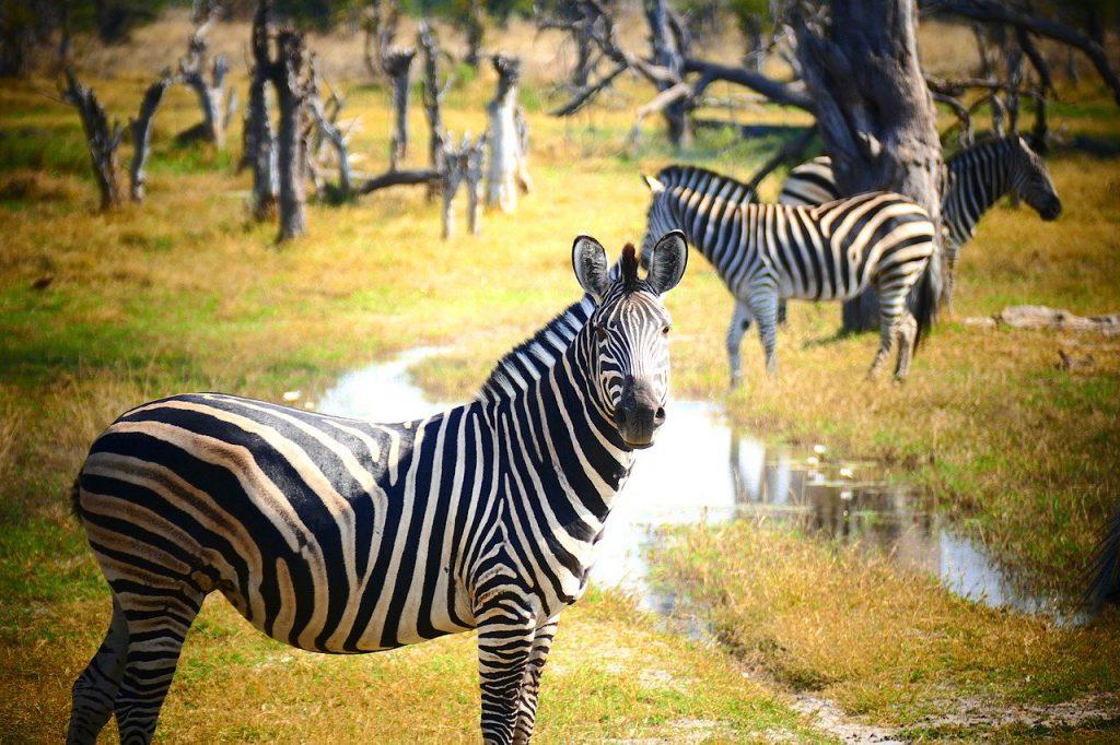 adaptacje zebry