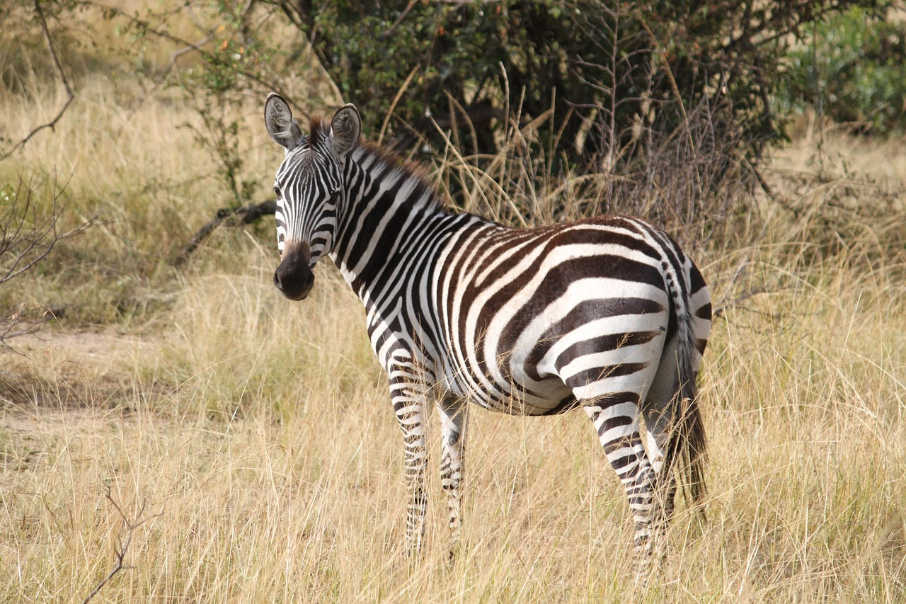 co je zebra