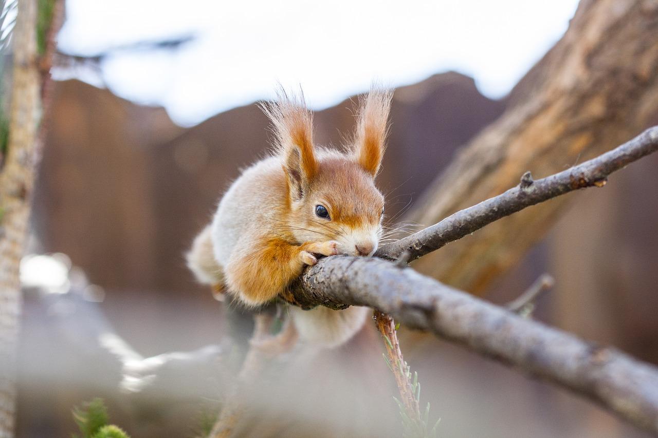 ile żyje wiewiórka